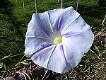 Blue Star Ipomoea Tricolor