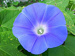 Early Call Blue Ipomoea Nil