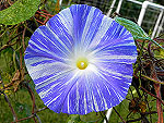 Flying Saucers Ipomoea Tricolor