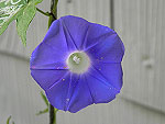 Ivy Leaf Morning Glory Ipomoea Hederacea