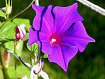 Kikyo Purple Ipomoea Nil