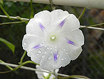 Milky Way Ipomoea Purpurea