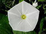 Pearly Gates Ipomoea Tricolor