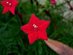 Red Cypress Vine Ipomoea Quamoclit