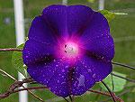 Star of Yelta Ipomoea Purpurea