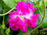 Sunrise Serenade Ipomoea Purpurea