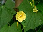 Yellow Trumpet Morning Glory Ipomoea Lutea