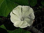 Crisp White Ipomoea Purpurea
