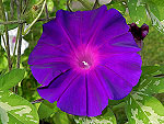 The Purple at Dawn / Akatsuki no Murasaki Ipomoea Nil