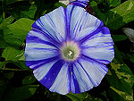 Blue Dragon Ipomoea Nil