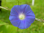 Entireleaf Morning Glory Ipomoea Hederacea var Integriuscula
