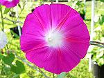 Pink Shibori Hige Ipomoea Purpurea