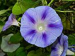 Sky Blue Shibori Ipomoea Purpurea
