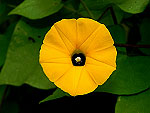 Yellow Obscure Morning Glory