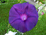 Black Queen Ipomoea Nil