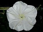 Moonflower Ipomoea Alba