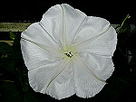 Moonflower Ipomoea Alba