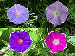 Sun Smile Mix Ipomoea Nil