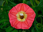 Apricot Candy Ipomoea Sloteri