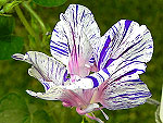 Blue Tiger Hige Ipomoea Purpurea