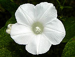 Creeping White Ipomoea Nil