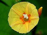 Pumpkin Trumpet Morning Glory Ipomoea Hederifolia var Pumpkin