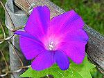 Purple Splite Petal Ipomoea Nil