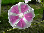 Sayaka Ipomoea Nil x Purpurea