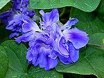 Violet Hige Ipomoea Purpurea