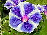 Blue Blizzard Fuji Ipomoea Nil x Purpurea