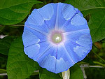 Blueprints Ipomoea Nil