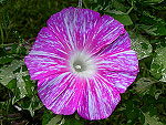 The Snowstorm of Blooms Ipomoea Nil