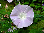 Light Pink Reverse Tube Ipomoea Nil