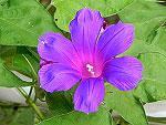 Purple Blast Ipomoea Nil