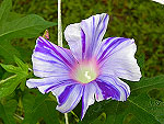 Purple Blizzard Split Ipomoea Nil