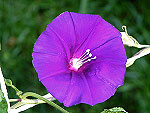 Purple Reverse Tube Ipomoea Nil
