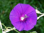 Purple Reverse Tube Ipomoea Nil