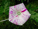 Red Speckled Ipomoea Nil