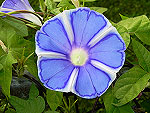 The Blue of Mt. Fuji / Fuji no Ao Ipomoea Nil