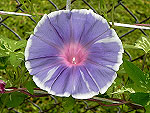 Lavender Gray Ipomoea Nil
