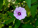 Wright's Morning Glory Ipomoea Wrightii