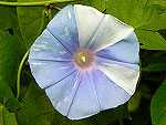 Baby Blue Ray Ipomoea Nil