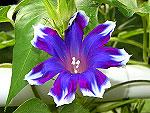 Blue Picotee Blast Ipomoea Nil