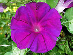 The Purple at the Beach / Hama no Murasaki Ipomoea Nil