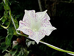 Kikyo Light Pink Speckled Ipomoea Nil