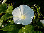 Early Call White Ipomoea Nil