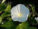 Early Call White Ipomoea Nil