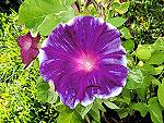 Purple Crown / Murasaki no Kanmuri Ipomoea Nil