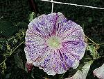 Purple Rain Ipomoea Nil