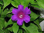 Dark Purple Blast Ipomoea Nil